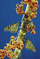 Monarch butterflies on bittersweet branch with berries