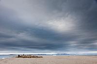 A herd of male walrus on a beach in Svalbard