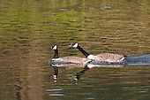 Canada Goose (Branta canadensis) Courting Pair along the Ribble river. Originally introduced to Britain in St James Park, London in the mid 17th century,