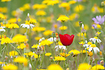 Field Poppy, Papaver rhoeas, Lesvos Island, Greece , lesbos