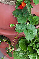 Nasturtiums and strawberries plants growing out of the top and from holes cut in the sides of 220 liter plastic barrel.