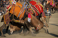 Selcuk, Turkey, 21/01/01..The traditional sport of camel wrestling is popular throughout western Turkey in the winter months; the largest event is the annual festival held in Selcuk on the third weekend of January.