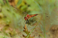 362710002 a wild male cherry-faced meadowhawk sympetrum internum  perches on a grass stem near along the owens river benton crossing road mono county california
