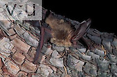 A Townsend's Big-Eared Bat (Plecotus townsendii) Burro Mountains, Southwest New Mexico, USA