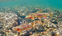 Golden Trout, Underwater