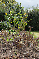 Beds in the vegetable garden with sunflowers (Helianthus annus) behind