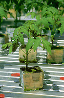 Hydroponics - Growing Tomatoes in Stone Wool Blocks