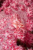 The Soft Coral Spider Crab (Hoplophrys oatesii) is covered with spines to mimic the polyps of the Alcyonarian Coral on which it lives, Fiji.