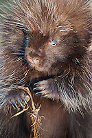 Close-up of a porcupine.