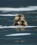 Mom Sea Otter with a young pup
