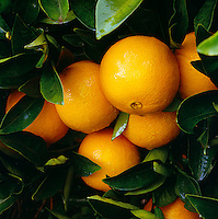 Agriculture - Produce, Navel Oranges, close-up on the tree / near Exeter, San Joaquin Valley, California, USA.