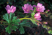 Rose Mallow (Hibiscus californicus), California, USA