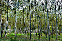 Grove of poplar trees at in the Bordeaux region of France