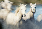 White horses race through marshes