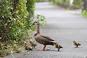 A duck and eight ducklings at a local printing factory in Tokyo residential area