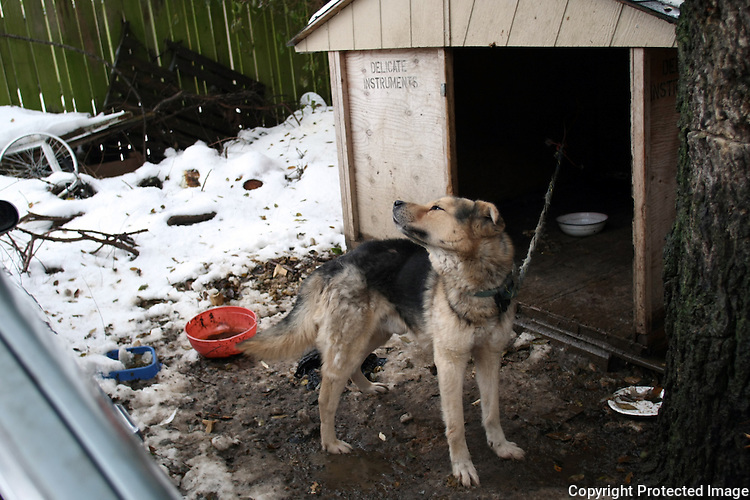 A dog tied continuously inside his house lives hidden in a backyard in Rainier Beach, Wash. on December 26, 2008.  One of the members of the household, Eli Bacani, says it is not his dog but somebody gave it to his brother about five years ago.  (Karen Ducey/Seattle Post-Intelligencer)