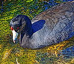 Coot in Shallow Water 1, Bolsa Chica, CA