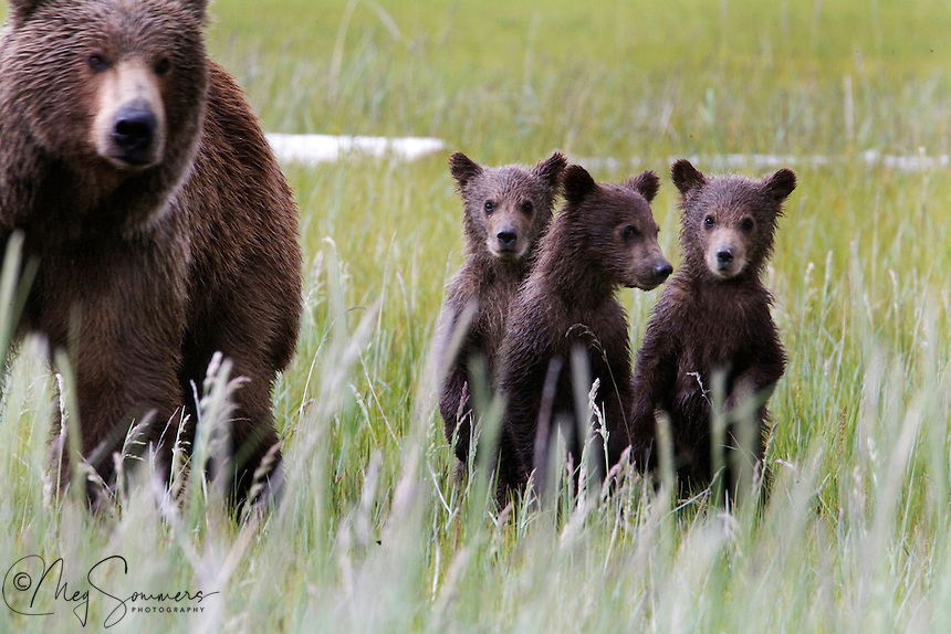 These Alaskan brown bear (Ursus arctos middendorffi) triplet cubs stood up to have their picture taken! Not really, but they did stand to get a better look at that stranger with a long lens.<br /> Halo Bay, Katmai National Park.