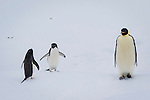 An Emperor Penguin with Adelie Penguins on an iceberg in the Weddell Sea, Antarctica