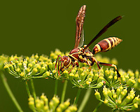 Golden Paper Wasp (polistes fuscatus) feeding on a flowering Dill head.