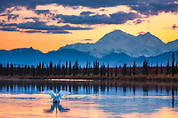 "Tundra swans in small pond, view of the north and south summits of Mt McKinley, locally called ""Denali"", North America"
