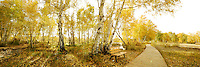 Magnificent bright golden landscape scenery of Xinjiang autumn seasonal woodland photo. Captured in wide panoramic landscape mode with beautiful sunlight effect piercing through the forest floor. China nature fine art photography by Paul Chong.