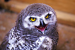 Immature Snowy Owl In Captivity