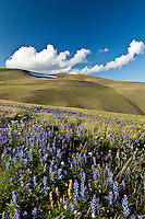 Lupine bloom in the Shoshone National Forest Wyoming