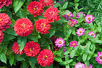 Zinnia Magellan Coral  with small angustifolia type pink zinnias annual flowers AAS winner blooming in summer, large with small, big and little different types together compare comparison side by side