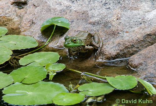 0818-1001  Northern Green Frog Sitting at edge of Pond, Lithobates clamitans, formerly Rana clamitans  © David Kuhn/Dwight Kuhn Photography