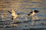 Adult Common Mergansers running across the river to take flight