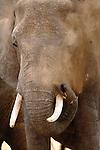African Elephant, Tarangire National Park, Tanzania
