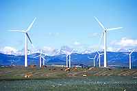 Wind Turbines generating Renewable Wind Energy Power above Herd of Cattle grazing in Field - Industry near Pincher Creek, Southern Alberta (AB), Canada, Canadian Rocky Mountain Foothills