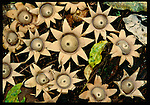 Star fungus, Indonesia