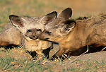 Bat-Eared Fox, Ngorongoro Conservation Area, Tanzania