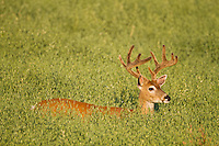 Western whitetail buck with antlers in velvet