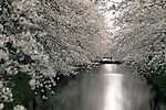 Cherry blossoms and the castles' moat provides a backdrop of many pictures at the Cherry Blossom Festival held in Oyo Park near Hirosaki Castle in Aomori Prefecture in Northern Honshu, Japan. Over 1500 cherry trees come into bloom from late April to Early May. (Jim Bryant Photo)........
