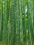 Green stems of bamboo forest. Arashiyama, Kyoto, Japan.