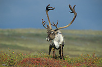Bull Caribou on tundra at Whitefish Lake in the Thelon Valley, Northwest Territories, Canada, AGPix_0127 .