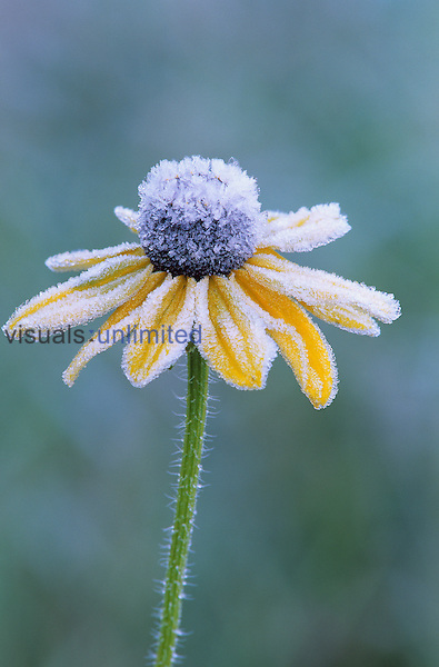 Frost on a Black-Eyed Susan (Rudbeckia hirta).