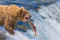Brown bear attemps to grab a red salmon as it jumps the Brooks river falls, Katmai National Park, Alaska