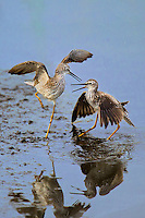 598250006v a pair of male lesser yellowlegs tringa flavipes engage in dominance display and fighting in a small pond on south padre island cameron county texas united states