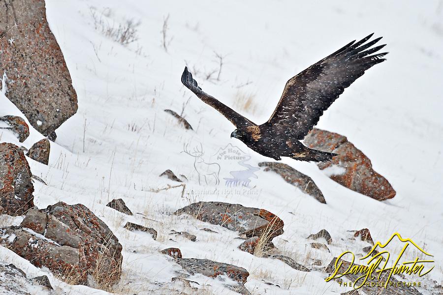 Golden Eagle, winter, snowing, National Elk Refuge, Jackson Hole, Wyoming