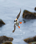 Horned Puffin (Fratercula corniculata) lfying in with splayed feet in preparation for landing, Reef Pt, St. Paul Island, Pribilofs, Alaska, USA