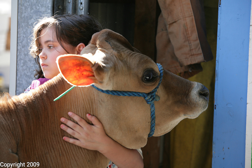 Sarah Kayser, 11, of Lynden, holds a jersey heifer while it is top lined before showing at the NW Washington Fair. She is in Barnyard Kids 4H group. August 18, 2009. PHOTOS BY MERYL SCHENKER ...