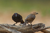 512440025 wild male and female bronzed cowbirds molothrus aeneus perches on a log on santa clara ranch starr county texas united states