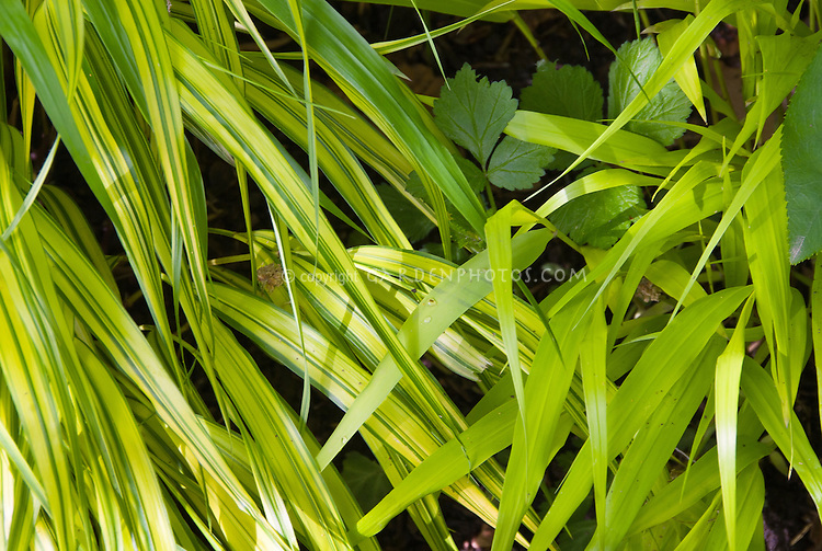 Two different cultivars of hakonechloa macra left for Japanese ornamental grass varieties
