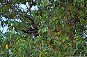 A colobus monkey peers warily out from the trees in the Harenna Forest.
