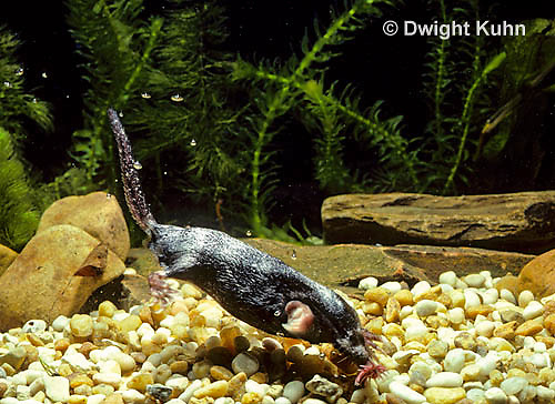 MB14-030z   Star-nosed Mole - swimming in a pool of  water - Condylura cristata