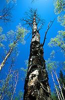 Fire damaged Aspen tree, Colorado